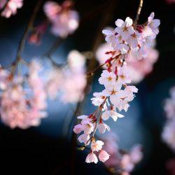 [雑学] 桜餅は関東風と関西風で2種類あるけどそんなこと普段意識なんかしないよね?